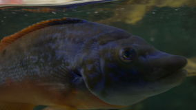 Tropical Fish near Water Surface. A tropical fish breathing near the water surface stock video