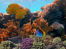 Tropical fish with net fire coral. S. Red Sea Stock Photos