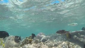 Tropical Fish. No need for a fish tank. Diving and enjoying nature stock video