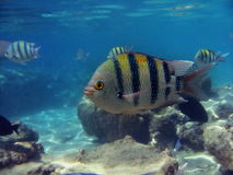 Tropical fish in ocean. Close up of tropical fish swimming in ocean Stock Images