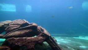 Tropical fish over coral reef. Beautiful tropical fish over coral reef stock video footage