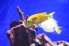 Tropical fish over coral reef Royalty Free Stock Photo