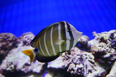 Tropical fish over coral reef Royalty Free Stock Images