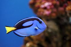 Tropical fish Paracanthurus hepatus. Beautiful Tropical fish surgeon floats in an aquarium Stock Photo