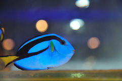 Tropical fish Paracanthurus hepatus. Beautiful Tropical fish surgeon floats in an aquarium Stock Photography