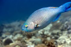 Tropical fish Parrotfish. Tropical fish Parrotfish underwater in coral garden. Maldives. Indian ocean. Addu atoll stock images