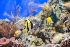 Tropical fish Pennant coralfish or coachman. Blue background stock image