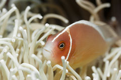 Tropical fish Pink clownfish Stock Photo