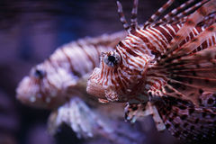 Tropical fish Pterois volitans Stock Photography