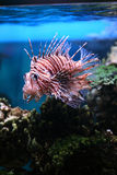 Tropical fish Pterois volitans Royalty Free Stock Photography