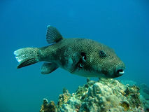 Tropical Fish Puffer Fish Royalty Free Stock Images