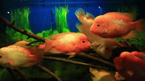 Tropical fish red Cichlid in aquarium. With blue background with natural audio sound stock footage