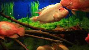 Tropical fish red Cichlid. In aquarium with natural audio sound stock video footage