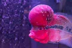 Tropical fish red Cichlid Royalty Free Stock Photos