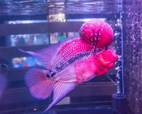 Tropical fish red Cichlid Stock Photography