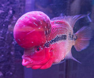 Tropical fish red Cichlid Stock Photos