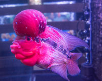 Tropical fish red Cichlid Royalty Free Stock Images