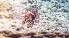 Tropical fish red lionfish coral reef underwater stock video footage