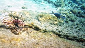 Tropical fish red lionfish coral reef underwater stock footage