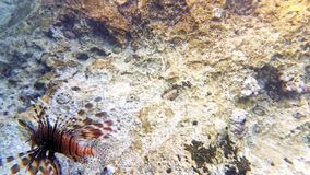 Tropical fish red lionfish coral reef underwater. Tropical fish red lionfish and coral reef underwater shot. Red sea coral reef underwater nature wild life stock footage