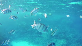 Tropical Fish in the Red Sea. Egypt. Beautiful Colorful Tropical Fish on Vibrant Coral Reefs Underwater in the Red Sea. Egypt. Sealife in the Red Sea stock video footage