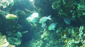 Tropical Fish in the Red Sea. Egypt. Beautiful Colorful Tropical Fish on Vibrant Coral Reefs Underwater in the Red Sea. Egypt. Sealife in the Red Sea stock footage