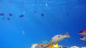 Tropical Fish in the Red Sea. Movie Clip of Coral Reef with Tropical Fish in the Red Sea stock video footage