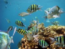 Tropical fish, red sea in Sharm el Sheikh Royalty Free Stock Photos