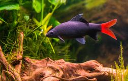 Tropical fish - Red Tail Shark. With plants and bubbles, black and red fish with wood Royalty Free Stock Photography