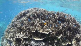 Tropical Fish and Reef. Small, colorful reef fish swim above a coral reef in the tropical western Pacific stock footage