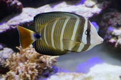 Tropical fish and reef Royalty Free Stock Photos