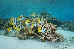Tropical fish school butterflyfish Pacific ocean Royalty Free Stock Image