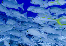 Tropical fish school Royalty Free Stock Image