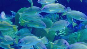 Tropical Fish School Swimming Around Reef stock video footage
