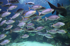 Tropical fish schooling Stock Photography
