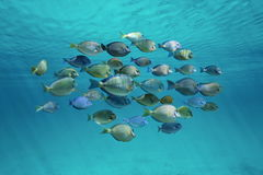 Tropical fish schooling below ripples of surface Stock Image