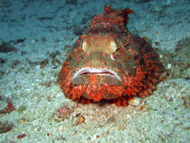 Tropical fish scorpionfish Royalty Free Stock Image