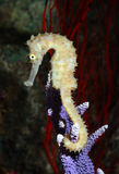 Tropical fish, seahorse Stock Photography