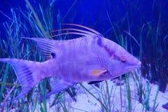 Tropical fish and seaweed. Taken in florida Royalty Free Stock Image
