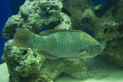 Tropical Fish side profile royalty free stock images