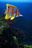 Tropical fish Sixspine butterfly-fish. Tropical fish Colourful Sixspine butterflyfish floats in an aquarium Royalty Free Stock Photos
