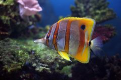 Tropical fish Sixspine butterfly-fish. Colourful Sixspine butterfly-fish floats in an aquarium Stock Photography