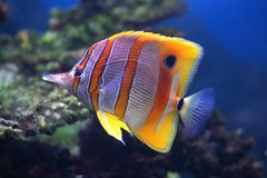 Tropical fish Sixspine butterfly-fish Royalty Free Stock Photos