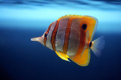 Tropical fish Sixspine butterfly-fish. Tropical fish Colourful Sixspine butterfly-fish floats in an aquarium Stock Image