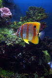 Tropical fish Sixspine butterflyfi. Colourful Tropical fish Sixspine butterflyfish floats in an aquarium Stock Images