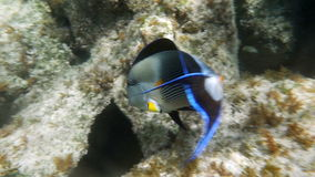 Tropical Fish Sohal Surgeonfish Acanthurus Sohal. Slow motion clip of a one big tropical fish sohal surgeonfish acanthurus sohal stock video footage