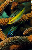 Tropical fish with staghorn coral Stock Images