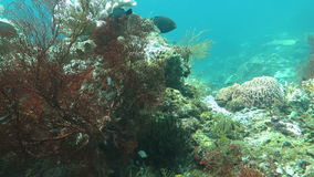 Tropical fish swim around a barrel sponge on a coral reef stock video footage