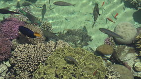 Tropical fish swim in Coral in Eilat, Israel stock video footage