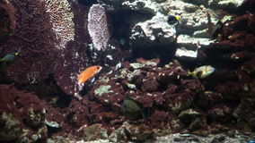 Tropical fish swim among corals. Four tropical fish swim among colorful corals, shot at the zoo in Budapest stock video footage